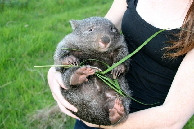This Wombat Picture