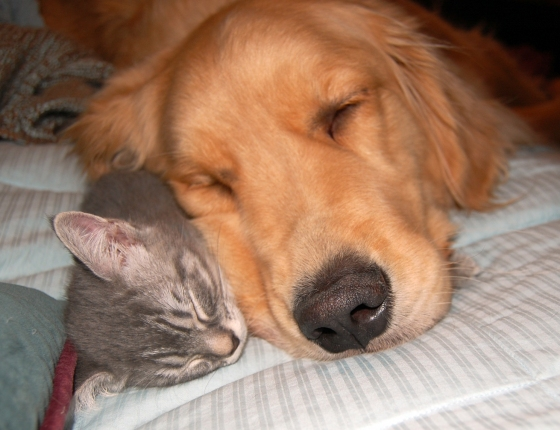 Dogs Lying On Cats-05