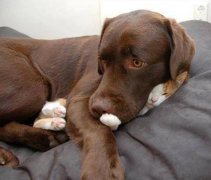 Dogs Lying On Cats-06