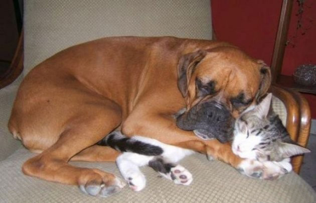Dogs Lying On Cats-08