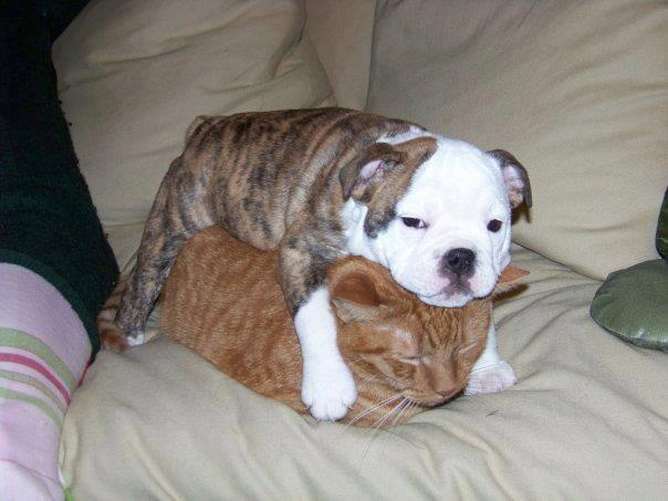 Dogs Lying On Cats-16