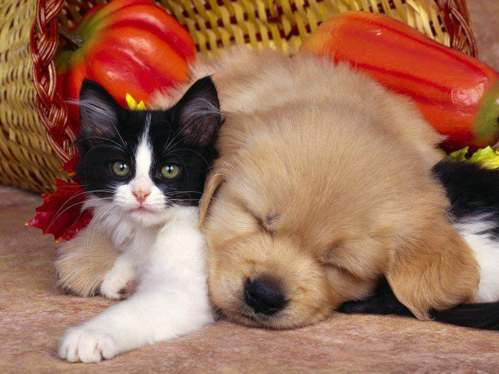 Dogs Lying On Cats-17