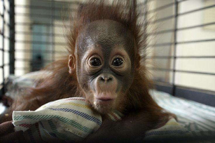 This Baby Orangutan