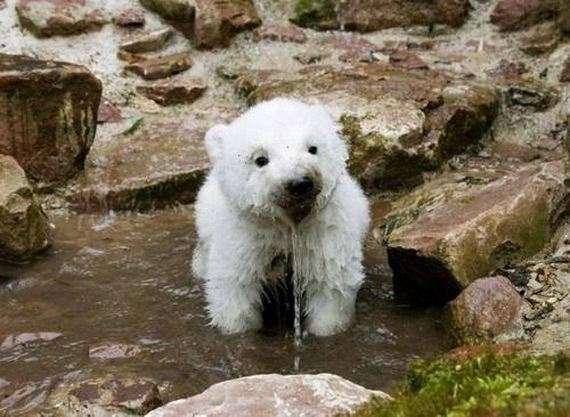 This Baby Polar Bear