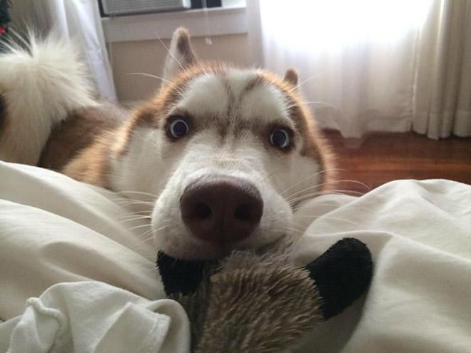 This Husky