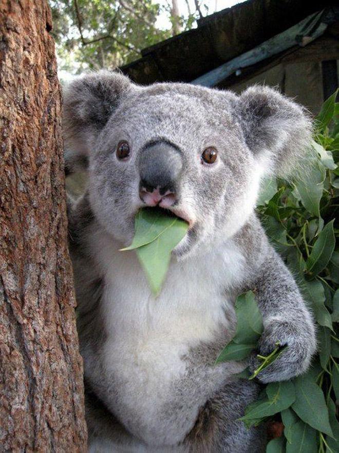 This Koala