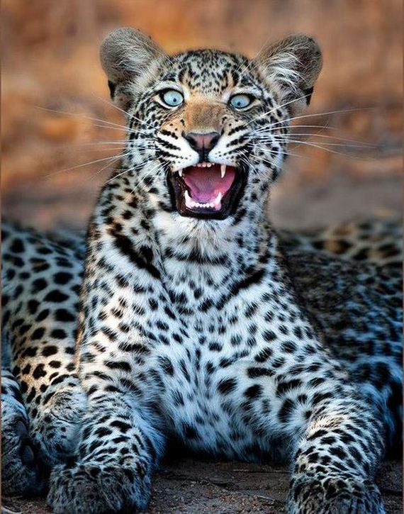 This Leopard