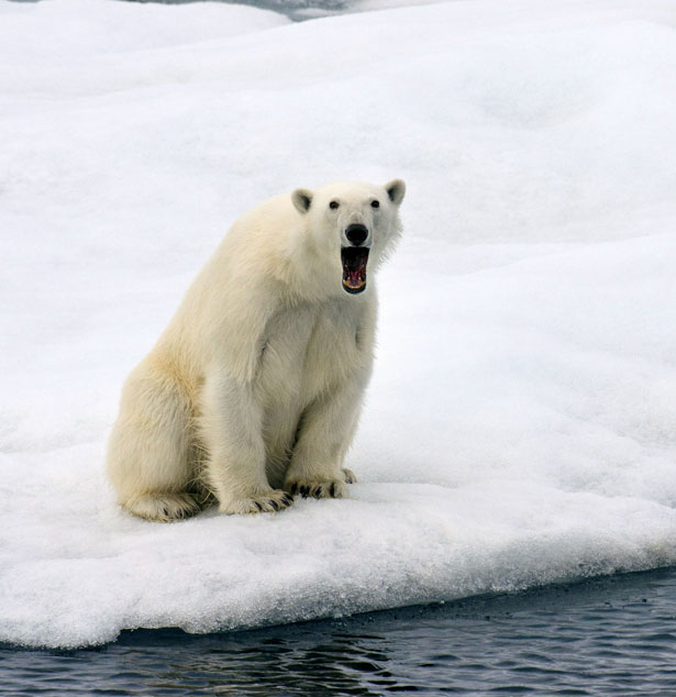 This Polar Bear
