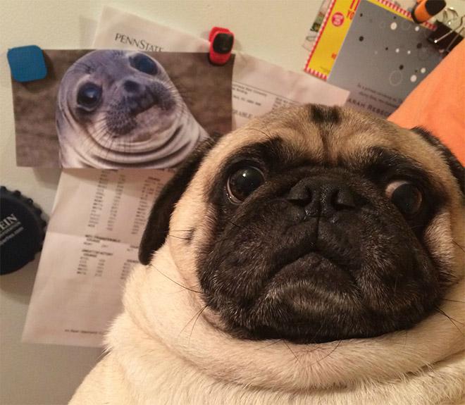 This Pug