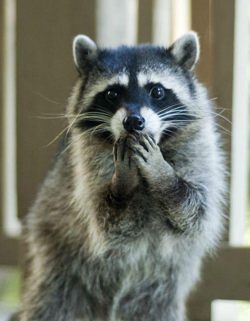 This Raccoon