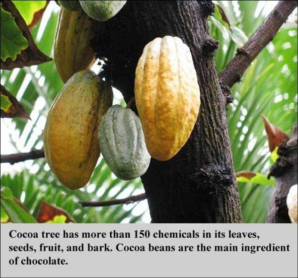 A fact about Cocoa tree