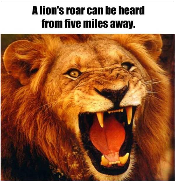 Fact about lion's roar