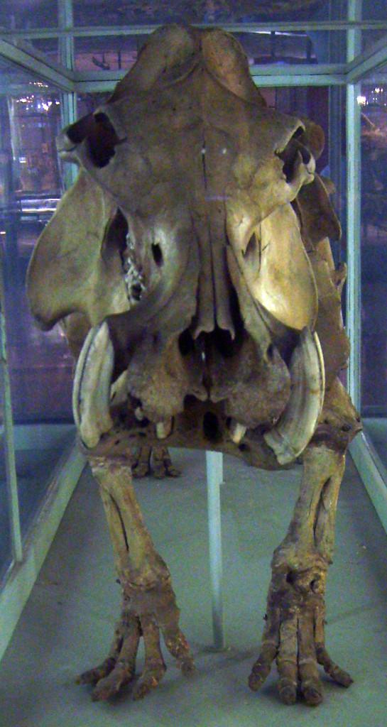 Malagasy Hippopotamus