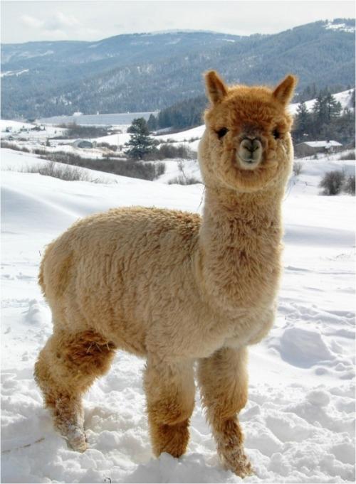 This Alpaca
