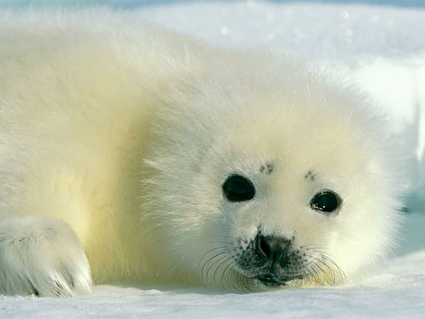 This Baby Harp Seal