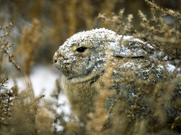 This Desert Cottontail Rabbit