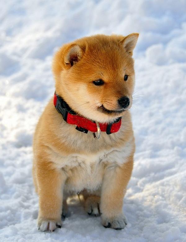 This Shiba Pup