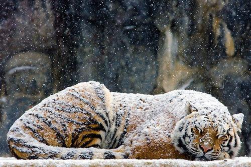 This Tiger