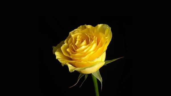 beautiful pictures of roses