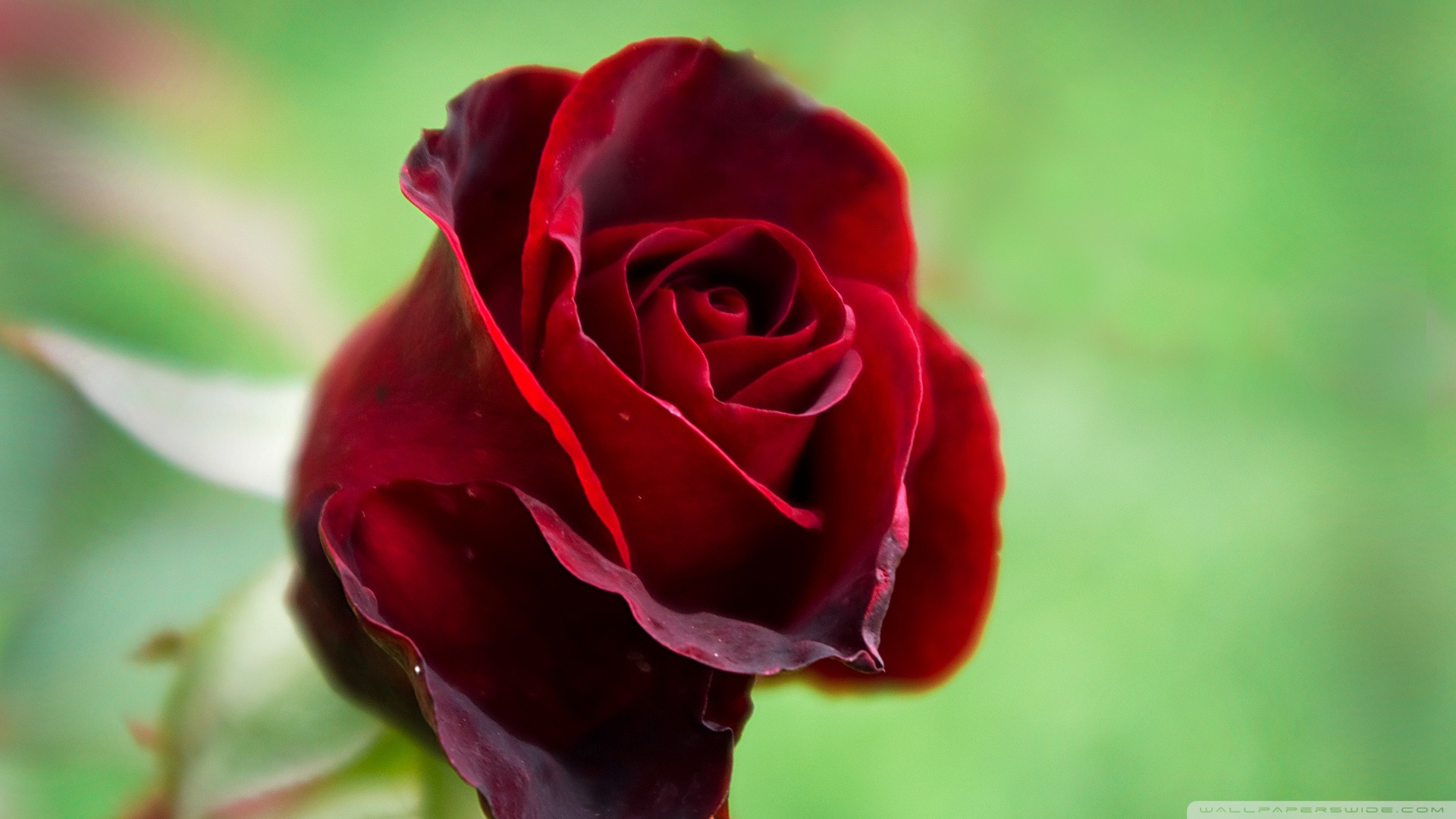 The 38 most beautiful pictures of roses you will ever see beautiful red rose izmirmasajfo