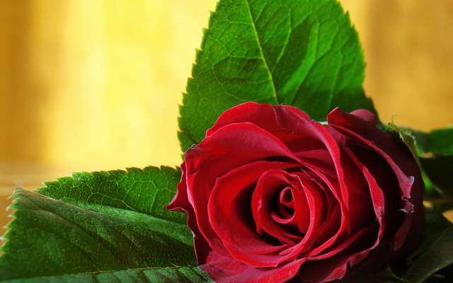 The 38 Most Beautiful Pictures Of Roses You Will Ever See