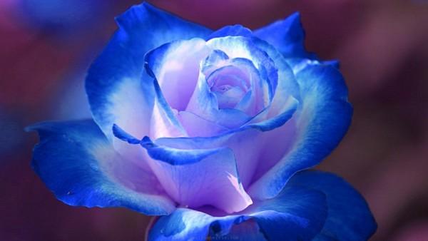 beautiful rose images