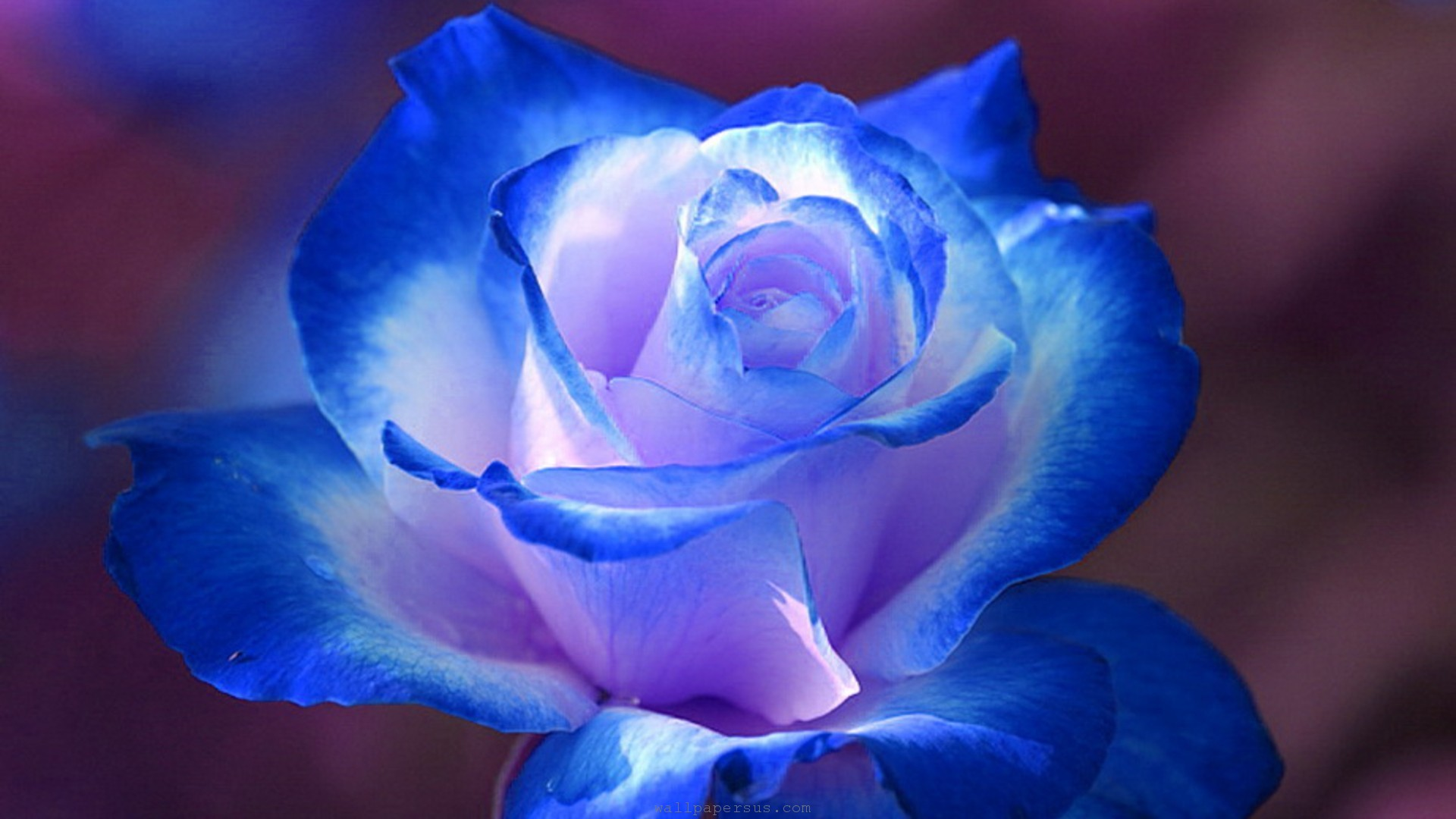 Image result for most beautiful blue roses in the world