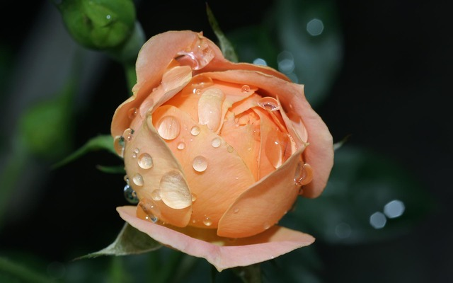 Image Gallery most ever beautiful rose
