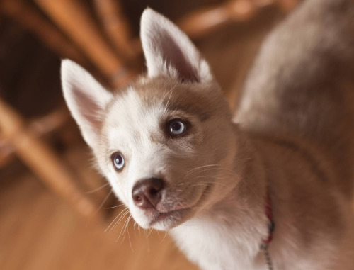 cute husky puppies