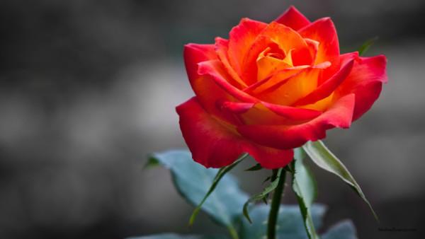 rose flower photos