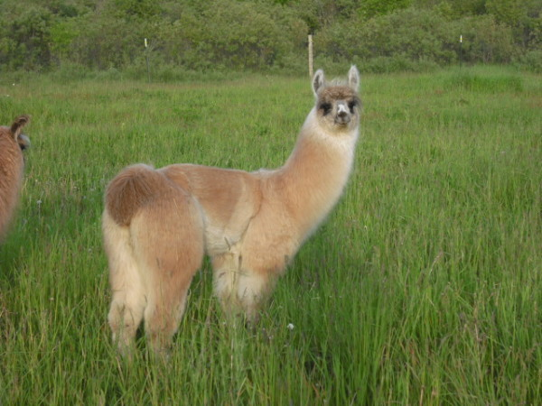 Michigan Llama Association (MLA) Scholarship