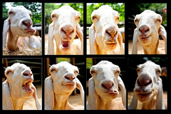 funny goat faces