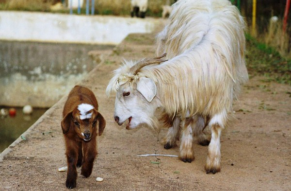 funny goat mom and baby