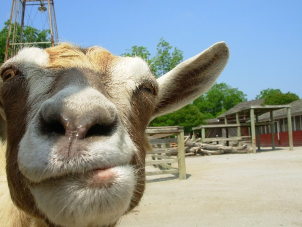 funny goats pictures