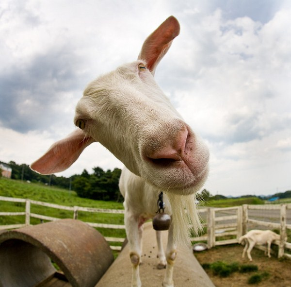 The 33 Best Funny Goat Pictures of All Time Pictures Funny