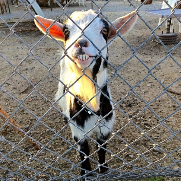 funny looking goat