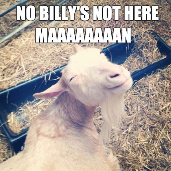 funny looking goats the 33 best funny goat pictures of all time