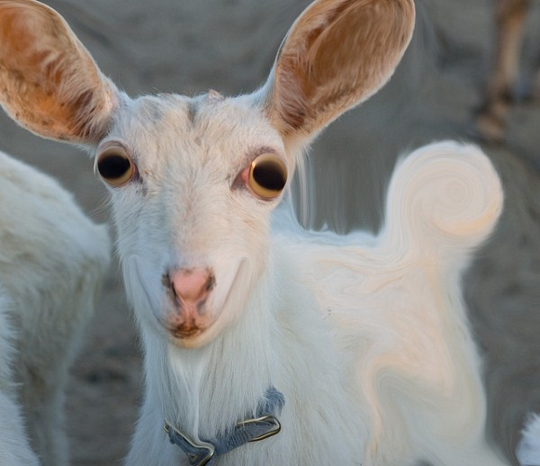 funny photos of goats