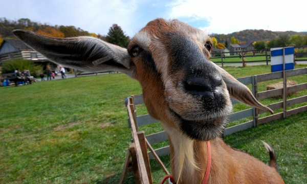 funny picture of goat