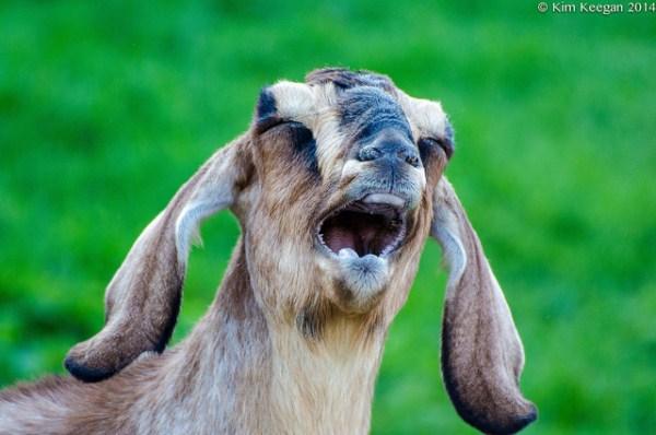 goat photos images