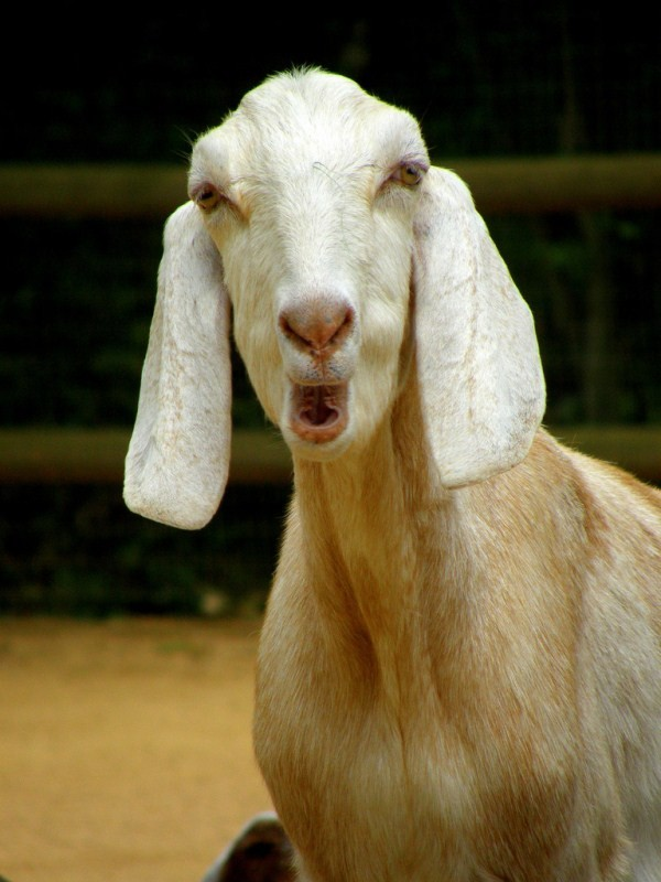 goat pictures