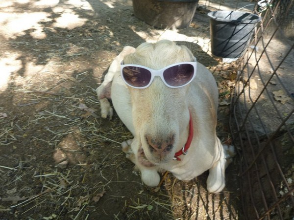 goats pictures