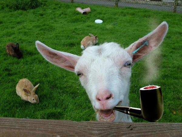 hilarious goat smoking