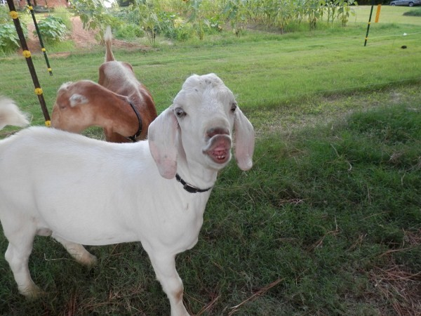 Funny Pictures Of Goats The 33 Best Fun...