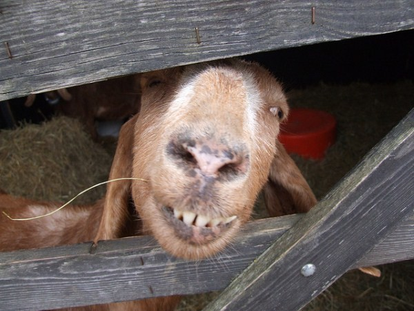silly goat pictures