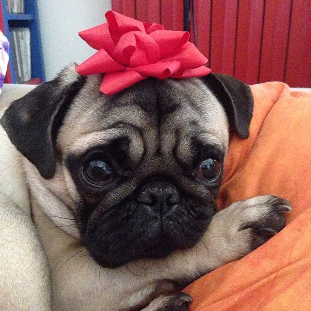 Good Puppies Bow Adorable Dog - cute-pug-dogs  Image_479112  .jpg
