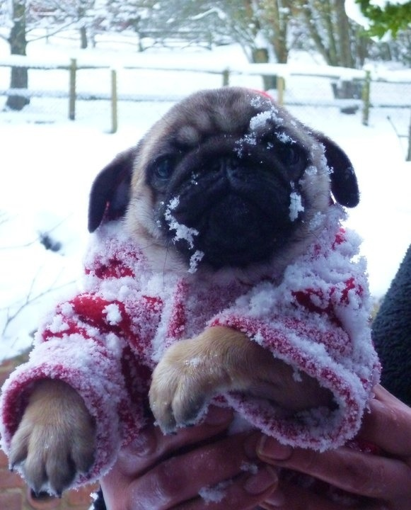 cute pug photos