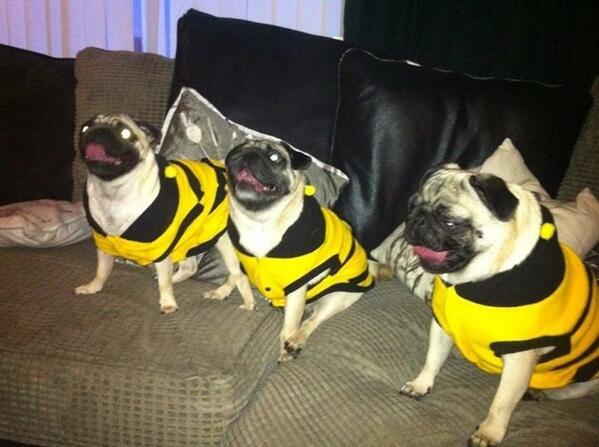 funny cute pugs