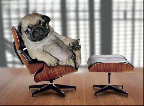 funny looking pugs