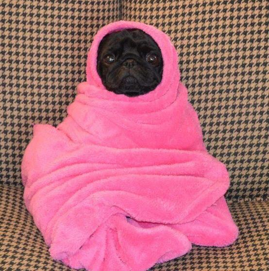 funny photos of pugs